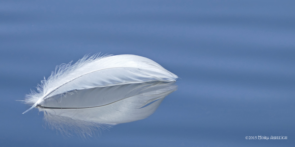 Swan feather on water